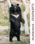 asiatic black bear in zoo   Shutterstock . vector #1016563972