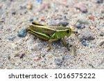 Closeup Of A Green Grasshopper...
