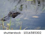 Alligator At Everglade Nationa...