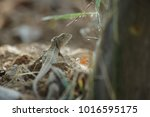 little brown lizard | Shutterstock . vector #1016595175