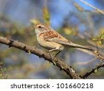 american sparrow | Shutterstock . vector #101660218