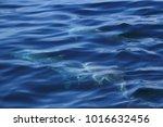 dolphins under the blue ocean | Shutterstock . vector #1016632456