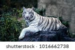 beautiful white tiger with blue ... | Shutterstock . vector #1016662738