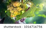 amber bunch of white grapes at...   Shutterstock . vector #1016716756