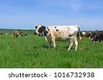 cows  on a summer pasture   Shutterstock . vector #1016732938