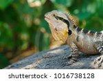 lizard at coolangatta | Shutterstock . vector #1016738128