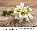 beautiful bouquet of snowdrops | Shutterstock . vector #1016761552