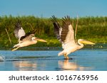 pelican flying over water at... | Shutterstock . vector #1016765956