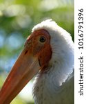 Head Of Yellow Billed Stork