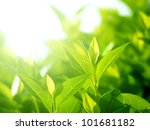 Tea Leaves At A Plantation In...