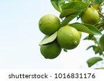 lemons on tree | Shutterstock . vector #1016831176