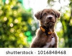 Stock photo portrait of curious brown labrador retriever puppy looking above against sunset foliage bokeh 1016848468