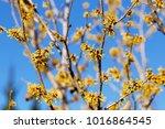 flower of hamamelis in early...   Shutterstock . vector #1016864545