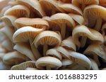 wood mushrooms. yellow... | Shutterstock . vector #1016883295