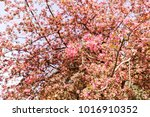 blossomed tree with pink... | Shutterstock . vector #1016910352