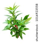 garden balsam plant on white...   Shutterstock . vector #1016923558