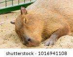 The Giant Brown Capybara...