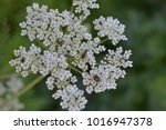 flowers close up  on top of... | Shutterstock . vector #1016947378