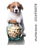 Stock photo jack russell terrier puppy and dog food cookies in a bone form 1016950078
