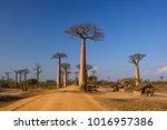 baobab   adansonia grandidieri  ...
