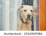 sad dog waiting alone at home.... | Shutterstock . vector #1016969386