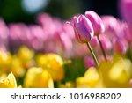 amazing nature concept of pink... | Shutterstock . vector #1016988202
