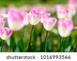 amazing nature concept of white ... | Shutterstock . vector #1016993566