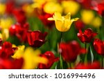 amazing nature concept of red... | Shutterstock . vector #1016994496