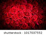 natural red roses background | Shutterstock . vector #1017037552