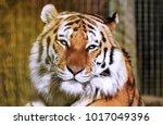 tiger  panthera tigris altaica... | Shutterstock . vector #1017049396