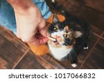Stock photo domestic life with pet young man gives his cat meat snack 1017066832