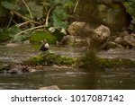 white throated dipper on a rock | Shutterstock . vector #1017087142