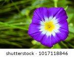 funnel shaped purple morning...   Shutterstock . vector #1017118846