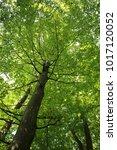 fagus sylvatica  european beech ... | Shutterstock . vector #1017120052