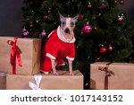 cute american hairless terrier... | Shutterstock . vector #1017143152