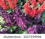 salvia splenden   scarlet sage... | Shutterstock . vector #1017154906