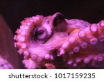 common octopus  octopus... | Shutterstock . vector #1017159235