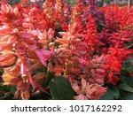 salvia splenden   scarlet sage... | Shutterstock . vector #1017162292