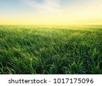 grass on the field during... | Shutterstock . vector #1017175096
