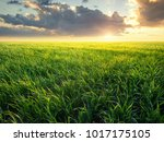grass on the field during... | Shutterstock . vector #1017175105