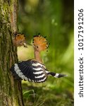 the hoopoe is feeding its chick.... | Shutterstock . vector #1017191206