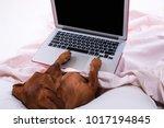 Dog Using A Laptop While Lying...