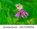 marbled white butterfly ... | Shutterstock . vector #1017245056
