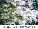 evergreen plants covered in... | Shutterstock . vector #1017262126