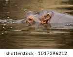 Small photo of Hippopotamus with eyes, nose and ears above water