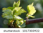 young inflorescence of grapes...