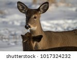 Winter And White Tailed Deer