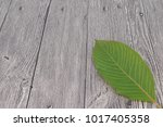 mitragyna speciosa  commonly... | Shutterstock . vector #1017405358