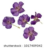 Herbarium Of Purple Dried And...