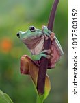 Small photo of Tree frog, dumpy frog on leaf